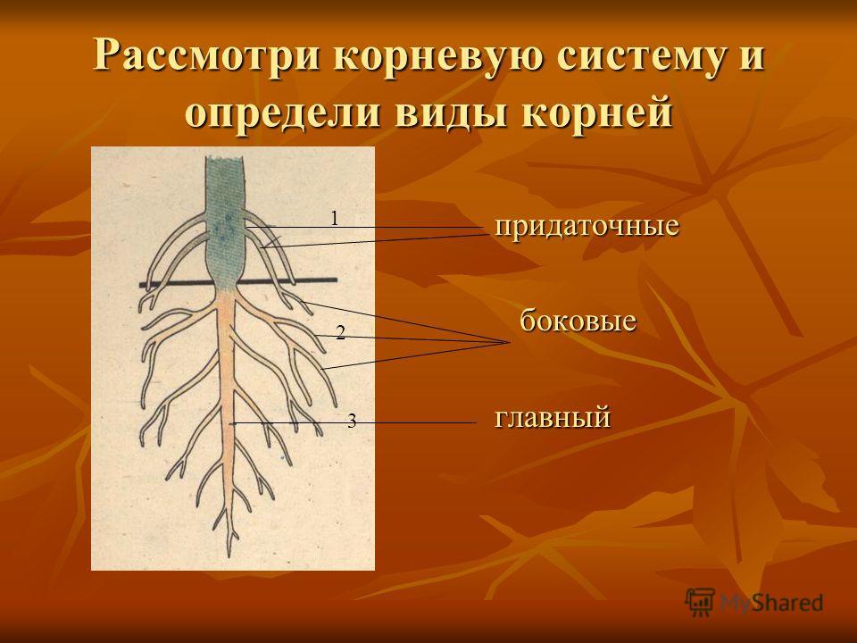 Виды корней и их развитие Образуют корневую систему Из зародышевого корня На главном, Боковых, придаточных На стеблевой части побега корни главный боковые придаточные