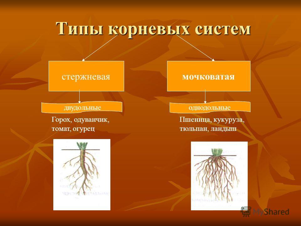 Рассмотри корневую систему и определи виды корней придаточные боковые главный 1 2 3