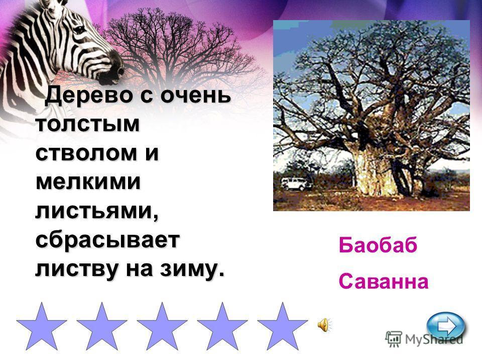 Это дерево обладает ценной древесиной черного, темно- зеленого, красного, белого цвета. Эбеновое дерево Влажный экваториальны й лес