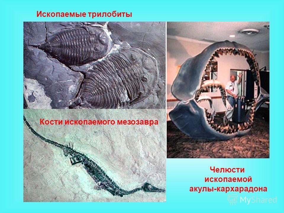 Челюсти ископаемой акулы-кархарадона Кости ископаемого мезозавра Ископаемые трилобиты