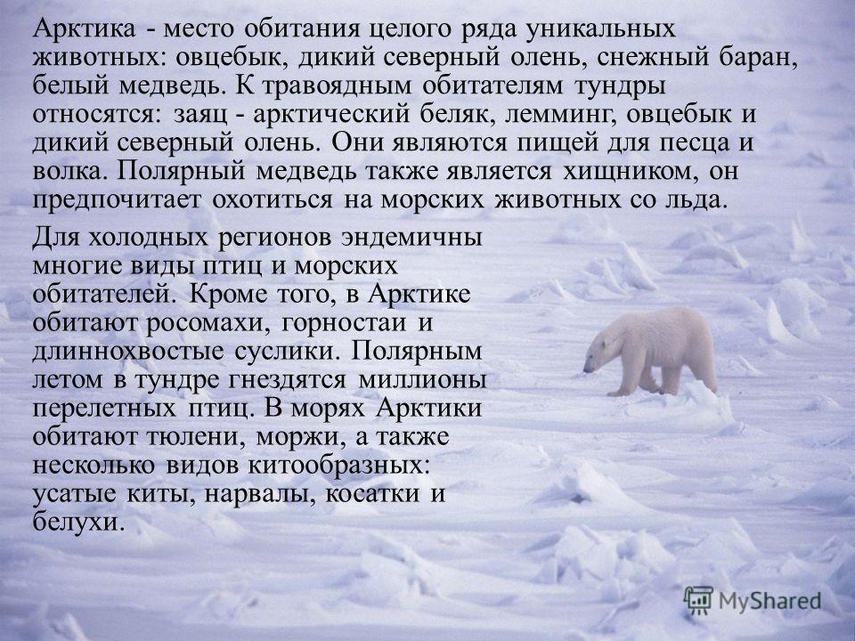Арктика - место обитания целого ряда уникальных животных: овцебык, дикий северный олень, снежный баран, белый медведь. К травоядным обитателям тундры относятся: заяц - арктический беляк, лемминг, овцебык и дикий северный олень. Они являются пищей для