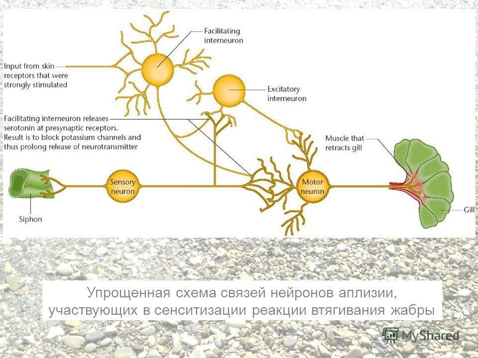 Упрощенная схема связей нейронов аплизии, участвующих в сенситизации реакции втягивания жабры