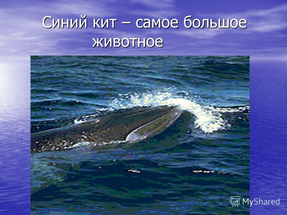 Синий кит – самое большое животное Синий кит – самое большое животное