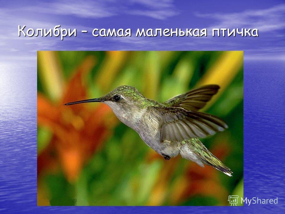 Колибри – самая маленькая птичка