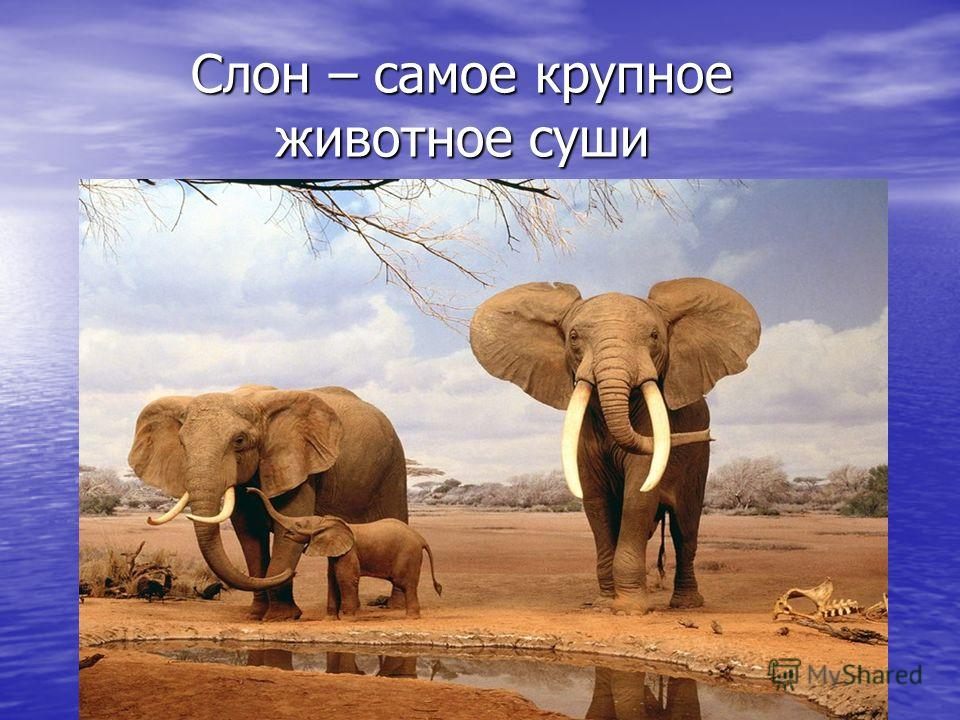 Слон – самое крупное животное суши