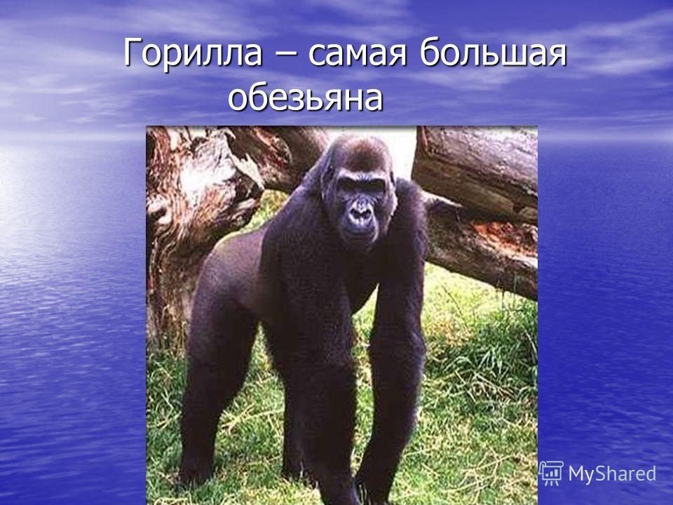 Горилла – самая большая обезьяна Горилла – самая большая обезьяна