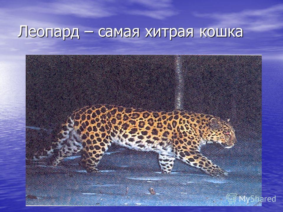 Леопард – самая хитрая кошка Леопард – самая хитрая кошка