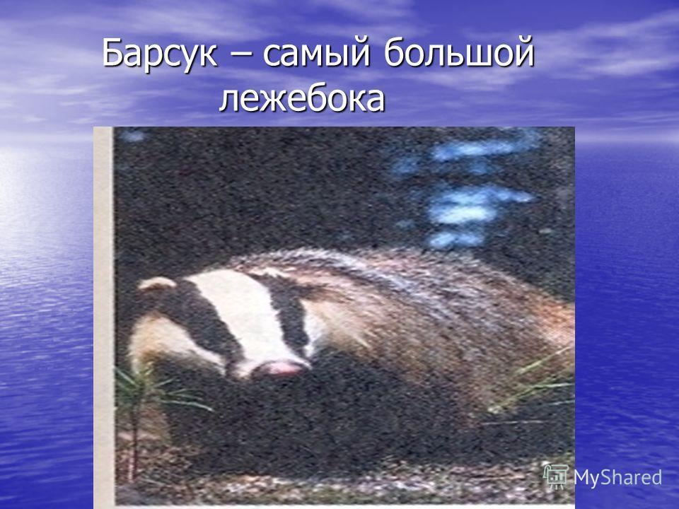Барсук – самый большой лежебока Барсук – самый большой лежебока