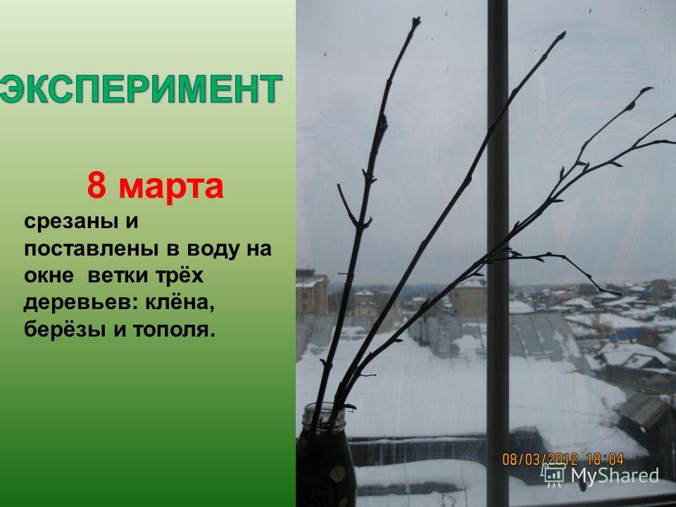 8 марта срезаны и поставлены в воду на окне ветки трёх деревьев: клёна, берёзы и тополя.