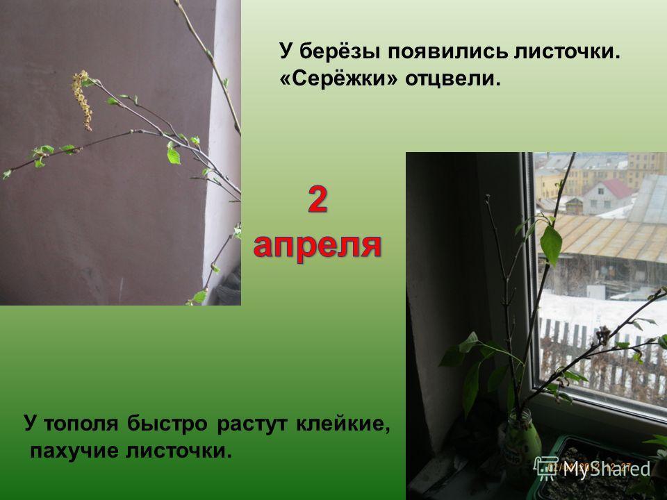 У берёзы появились листочки. «Серёжки» отцвели. У тополя быстро растут клейкие, пахучие листочки.
