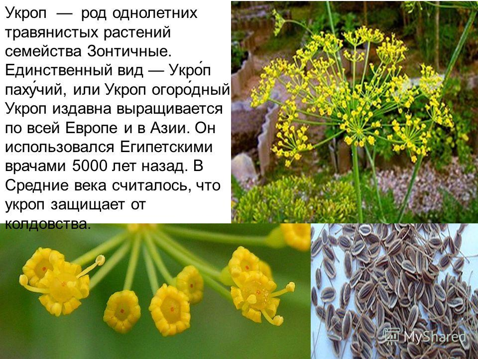 Укроп род однолетних травянистых растений семейства Зонтичные. Единственный вид Укро́п паху́чий, или Укроп огоро́дный Укроп издавна выращивается по всей Европе и в Азии. Он использовался Египетскими врачами 5000 лет назад. В Средние века считалось, ч