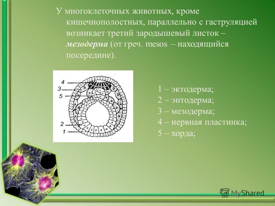 У многоклеточных животных, кроме кишечнополостных, параллельно с гаструляцией возникает третий зародышевый листок – мезодерма (от греч. mesos – находящийся посередине). 1 – эктодерма; 2 – энтодерма; 3 – мезодерма; 4 – нервная пластинка; 5 – хорда;