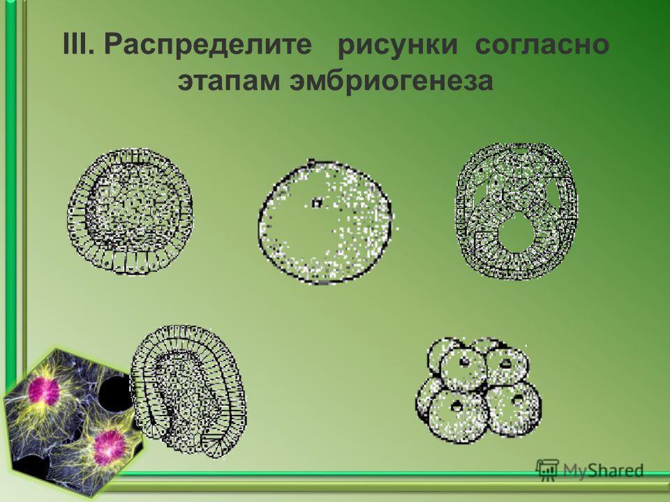III. Распределите рисунки согласно этапам эмбриогенеза