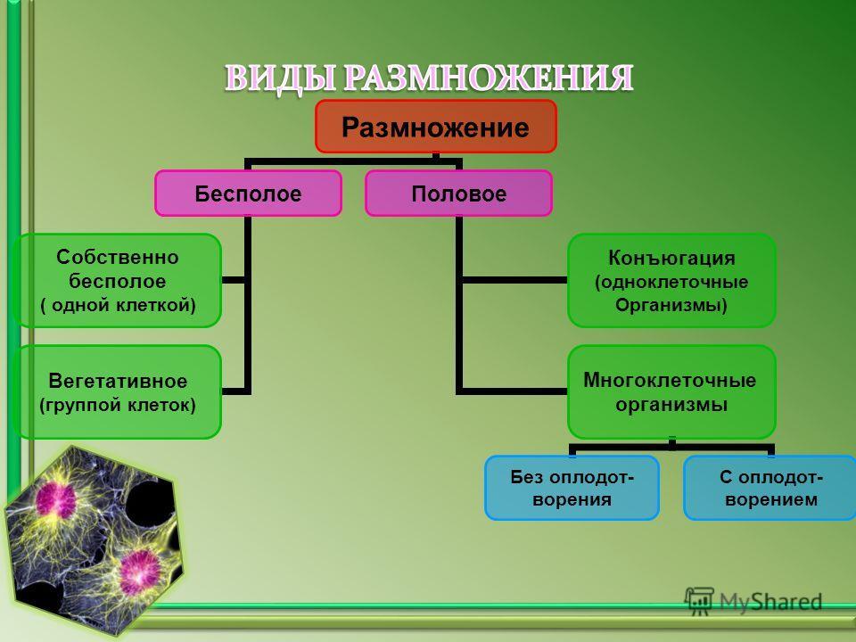 Размножение Бесполое Собственно бесполое ( одной клеткой) Вегетативное (группой клеток) Половое Конъюгация (одноклеточные Организмы) Многоклеточные организмы Без оплодот- ворения С оплодот- ворением
