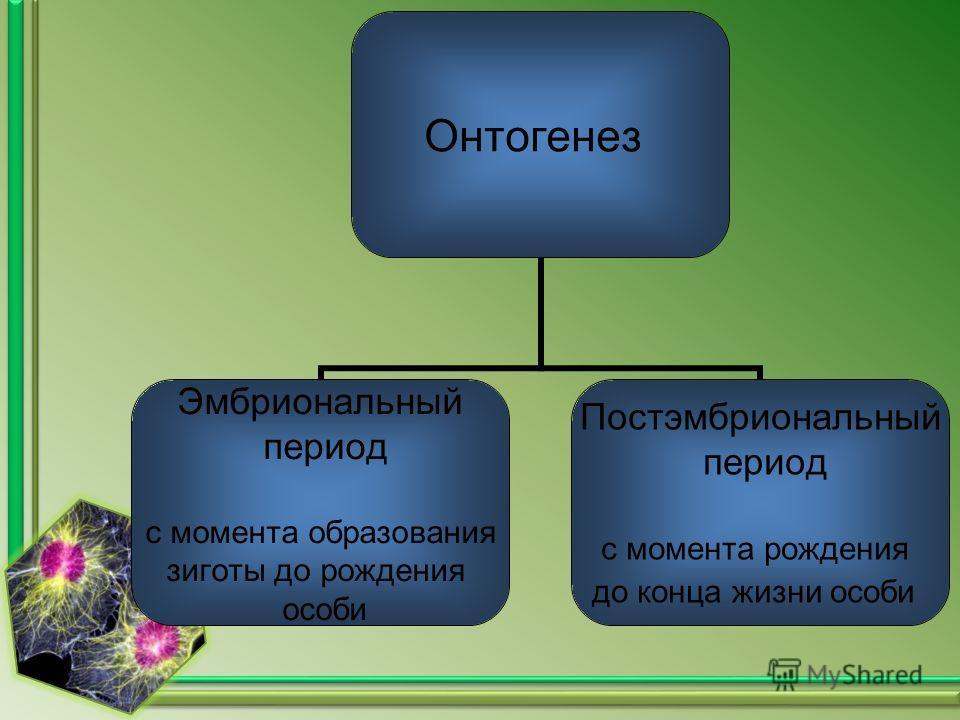 Онтогенез Эмбриональный период с момента образования зиготы до рождения особи Постэмбриональный период с момента рождения до конца жизни особи