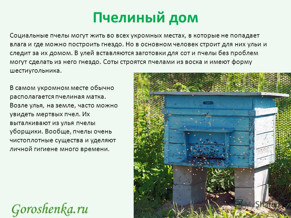 Пчелиный дом Социальные пчелы могут жить во всех укромных местах, в которые не попадает влага и где можно построить гнездо. Но в основном человек строит для них ульи и следит за их домом. В улей вставляются заготовки для сот и пчелы без проблем могут