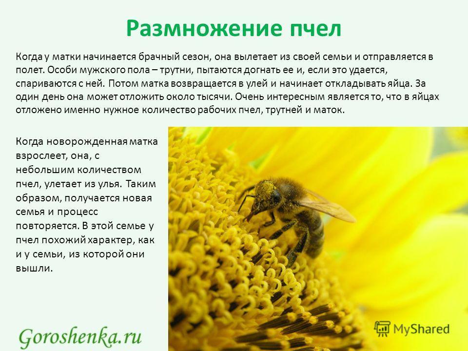 Размножение пчел Когда у матки начинается брачный сезон, она вылетает из своей семьи и отправляется в полет. Особи мужского пола – трутни, пытаются догнать ее и, если это удается, спариваются с ней. Потом матка возвращается в улей и начинает откладыв