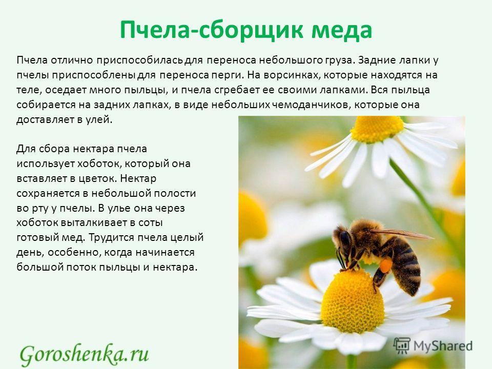 Пчела-сборщик меда Пчела отлично приспособилась для переноса небольшого груза. Задние лапки у пчелы приспособлены для переноса перги. На ворсинках, которые находятся на теле, оседает много пыльцы, и пчела сгребает ее своими лапками. Вся пыльца собира