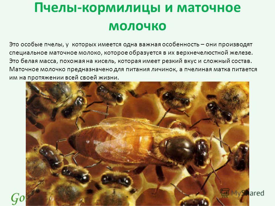 Пчелы-кормилицы и маточное молочко Это особые пчелы, у которых имеется одна важная особенность – они производят специальное маточное молоко, которое образуется в их верхнечелюстной железе. Это белая масса, похожая на кисель, которая имеет резкий вкус