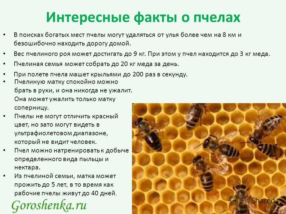 Интересные факты о пчелах В поисках богатых мест пчелы могут удаляться от улья более чем на 8 км и безошибочно находить дорогу домой. Вес пчелиного роя может достигать до 9 кг. При этом у пчел находится до 3 кг меда. Пчелиная семья может собрать до 2