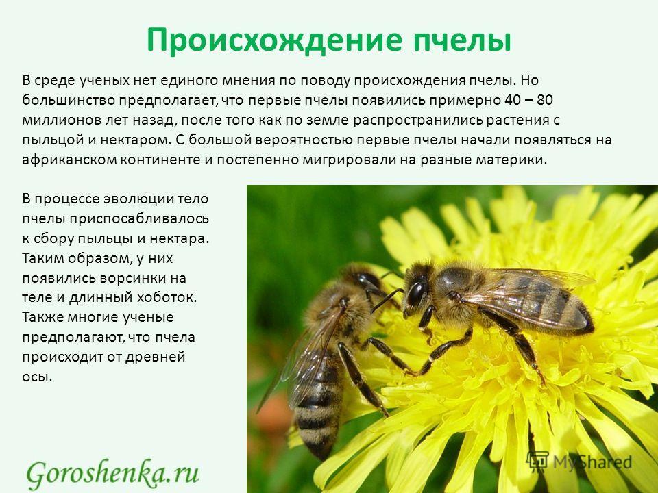 Происхождение пчелы В среде ученых нет единого мнения по поводу происхождения пчелы. Но большинство предполагает, что первые пчелы появились примерно 40 – 80 миллионов лет назад, после того как по земле распространились растения с пыльцой и нектаром.