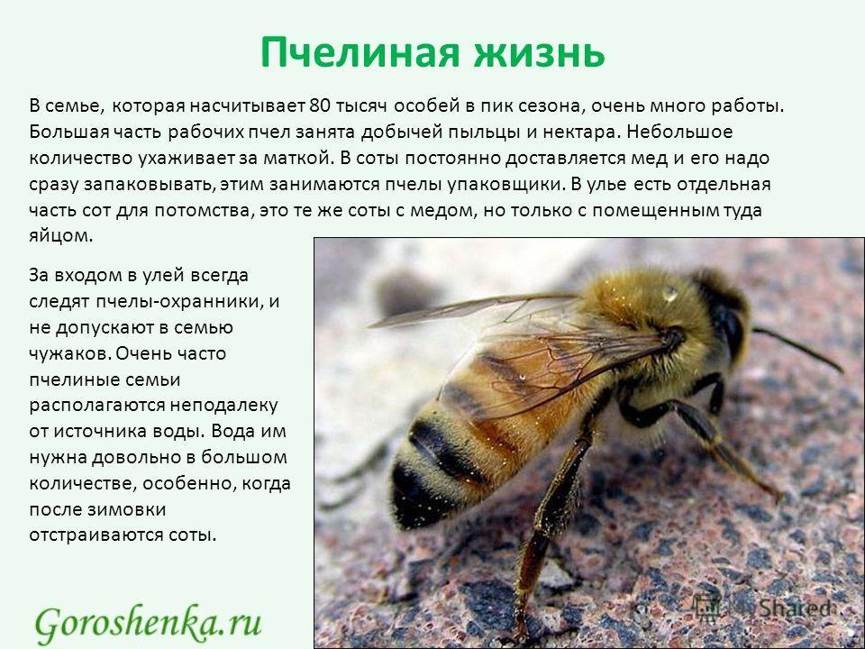 Пчелиная жизнь В семье, которая насчитывает 80 тысяч особей в пик сезона, очень много работы. Большая часть рабочих пчел занята добычей пыльцы и нектара. Небольшое количество ухаживает за маткой. В соты постоянно доставляется мед и его надо сразу зап