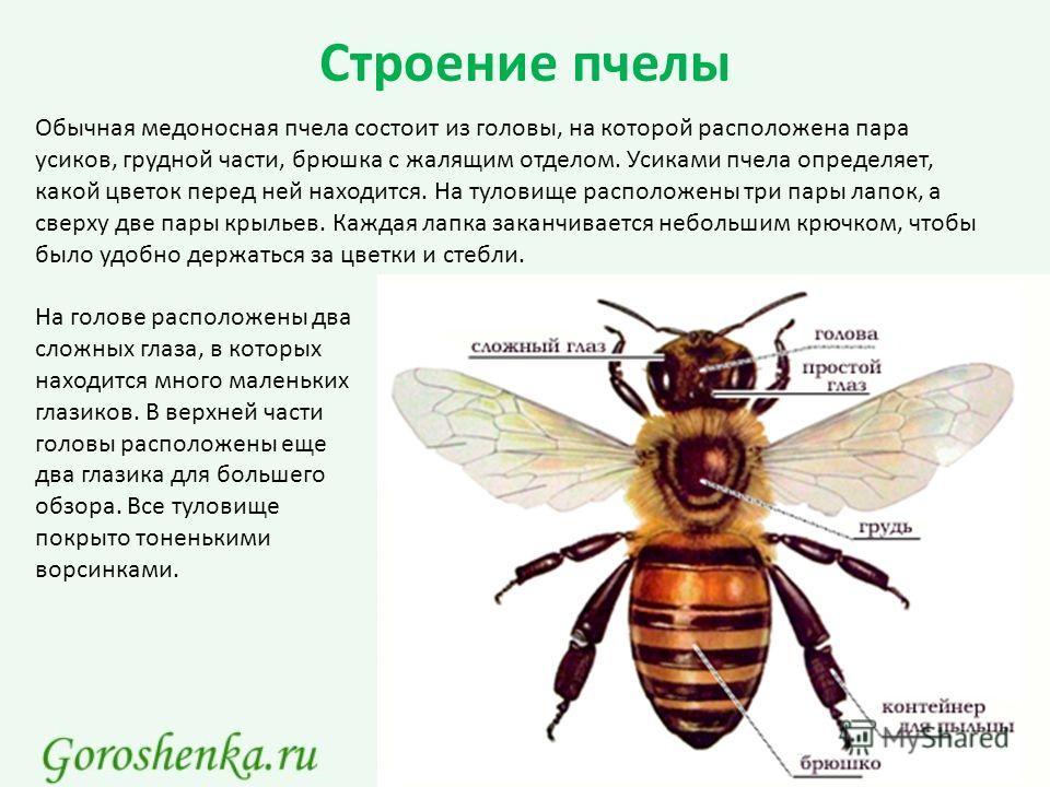Строение пчелы Обычная медоносная пчела состоит из головы, на которой расположена пара усиков, грудной части, брюшка с жалящим отделом. Усиками пчела определяет, какой цветок перед ней находится. На туловище расположены три пары лапок, а сверху две п