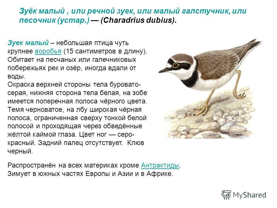 Зуёк малый, или речнoй зуек, или малый галстучник, или песoчник (устар.) (Charadrius dubius). Зуек малый – небольшая птица чуть крупнее воробья (15 сантиметров в длину). Обитает на песчаных или галечниковых побережьях рек и озёр, иногда вдали от воды