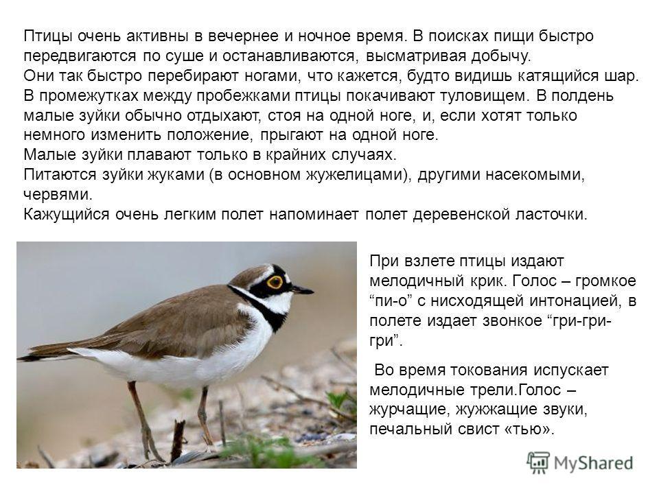 Птицы очень активны в вечернее и ночное время. В поисках пищи быстро передвигаются по суше и останавливаются, высматривая добычу. Они так быстро перебирают ногами, что кажется, будто видишь катящийся шар. В промежутках между пробежками птицы покачива