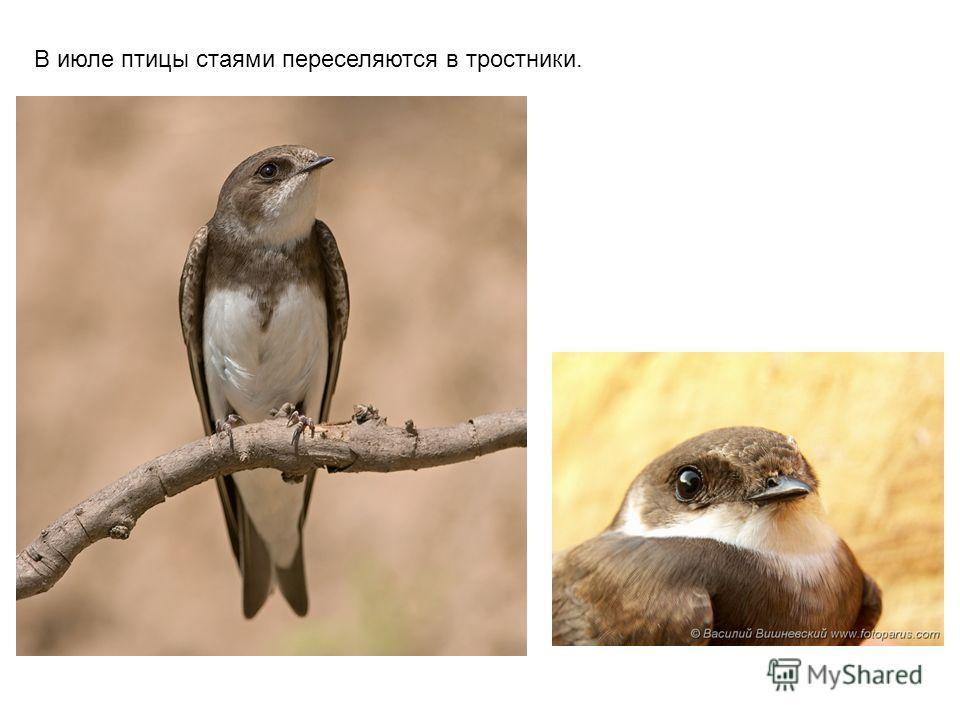 В июле птицы стаями переселяются в тростники.