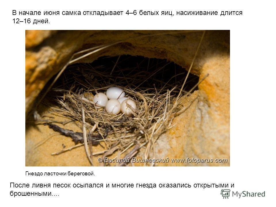 В начале июня самка откладывает 4–6 белых яиц, насиживание длится 12–16 дней. Гнездо ласточки береговой. После ливня песок осыпался и многие гнезда оказались открытыми и брошенными....
