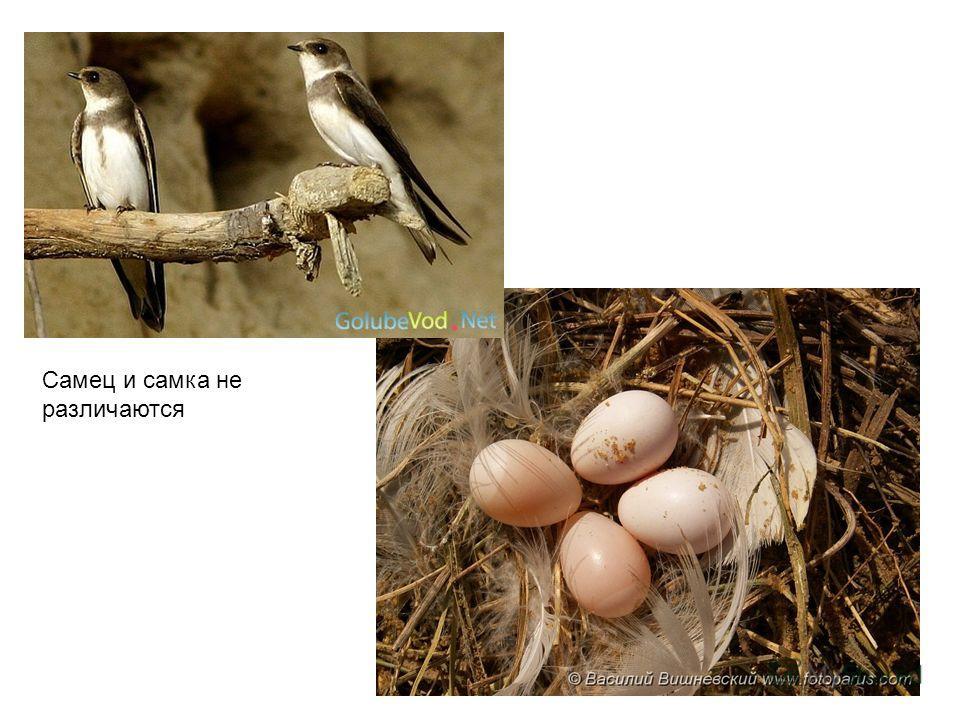 Самец и самка не различаются