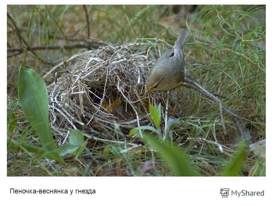 Пеночка-веснянка у гнезда