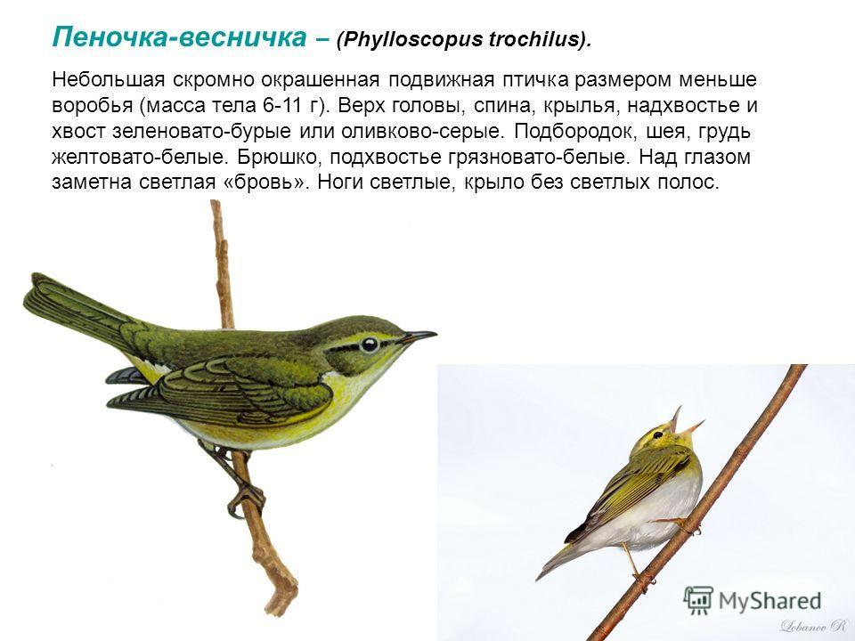 Пеночка-весничка – (Phylloscopus trochilus). Небольшая скромно окрашенная подвижная птичка размером меньше воробья (масса тела 6-11 г). Верх головы, спина, крылья, надхвостье и хвост зеленовато-бурые или оливково-серые. Подбородок, шея, грудь желтова