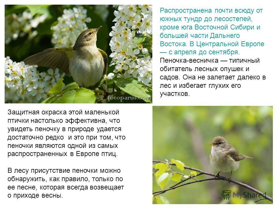 Защитная окраска этой маленькой птички настолько эффективна, что увидеть пеночку в природе удается достаточно редко и это при том, что пеночки являются одной из самых распространенных в Европе птиц. В лесу присутствие пеночки можно обнаружить, как пр