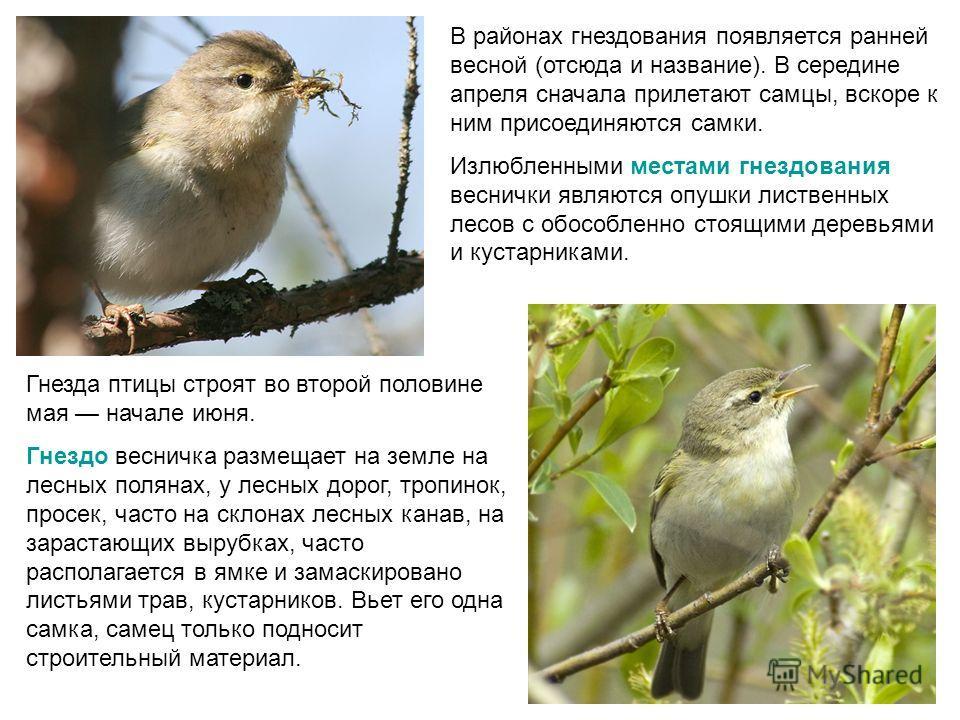 Гнезда птицы строят во второй половине мая начале июня. Гнездо весничка размещает на земле на лесных полянах, у лесных дорог, тропинок, просек, часто на склонах лесных канав, на зарастающих вырубках, часто располагается в ямке и замаскировано листьям
