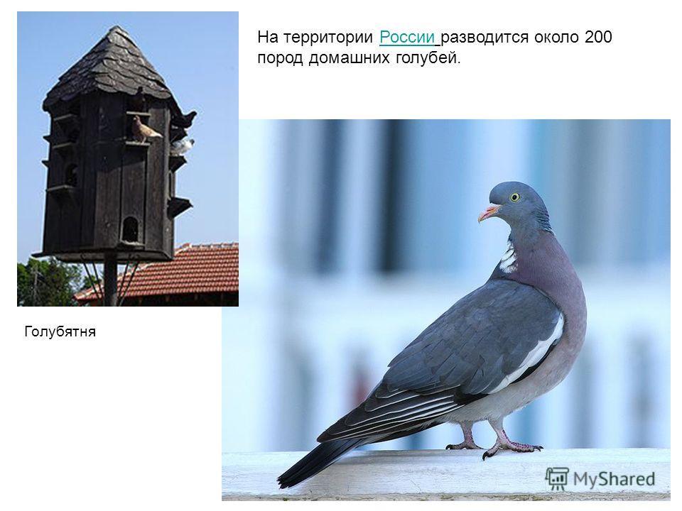 Голубятня На территории России разводится около 200 пород домашних голубей.России