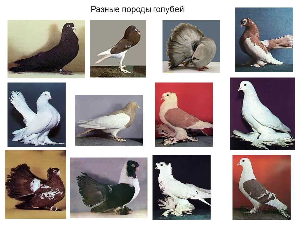 Разные породы голубей