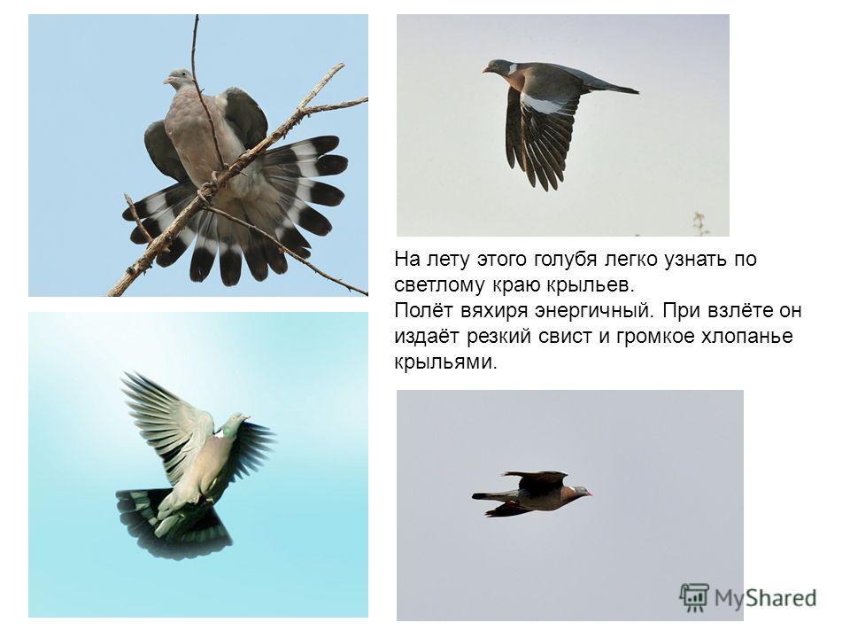 На лету этого голубя легко узнать по светлому краю крыльев. Полёт вяхиря энергичный. При взлёте он издаёт резкий свист и громкое хлопанье крыльями.