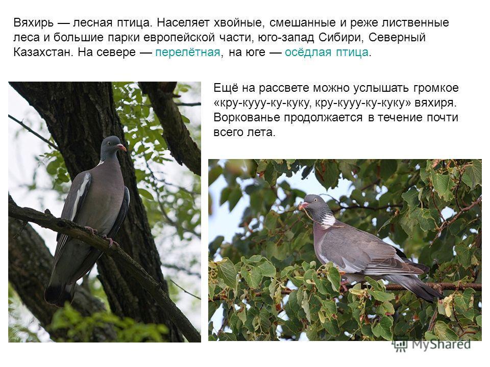 Вяхирь лесная птица. Населяет хвойные, смешанные и реже лиственные леса и большие парки европейской части, юго-запад Сибири, Северный Казахстан. На севере перелётная, на юге осёдлая птица. Ещё на рассвете можно услышать громкое «кру-кууу-ку-куку, кру