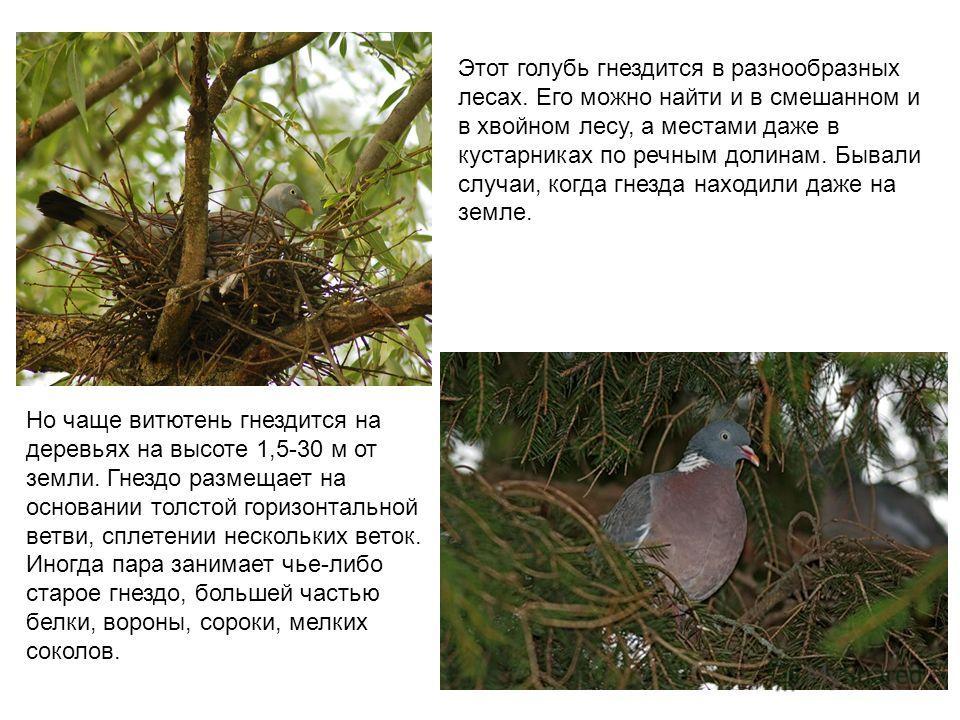 Этот голубь гнездится в разнообразных лесах. Его можно найти и в смешанном и в хвойном лесу, а местами даже в кустарниках по речным долинам. Бывали случаи, когда гнезда находили даже на земле. Но чаще витютень гнездится на деревьях на высоте 1,5-30 м