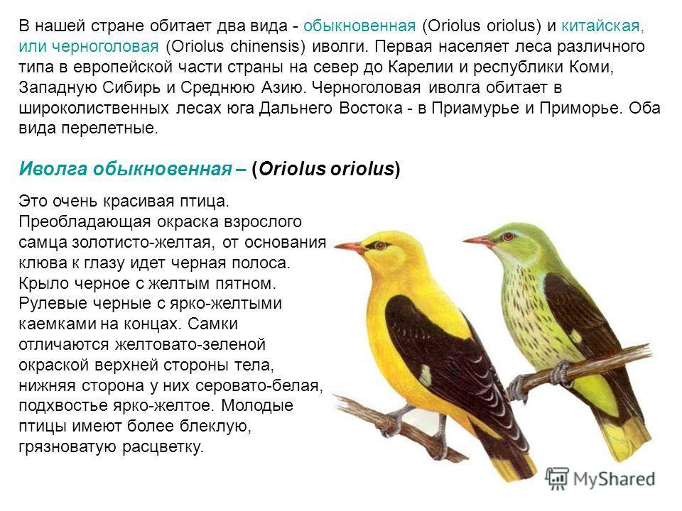 В нашей стране обитает два вида - обыкновенная (Oriolus oriolus) и китайская, или черноголовая (Oriolus chinensis) иволги. Первая населяет леса различного типа в европейской части страны на север до Карелии и республики Коми, Западную Сибирь и Средню