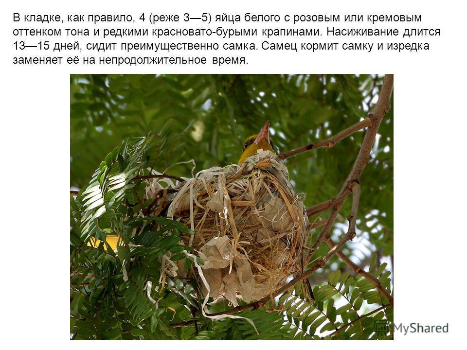 В кладке, как правило, 4 (реже 35) яйца белого с розовым или кремовым оттенком тона и редкими красновато-бурыми крапинами. Насиживание длится 1315 дней, сидит преимущественно самка. Самец кормит самку и изредка заменяет её на непродолжительное время.