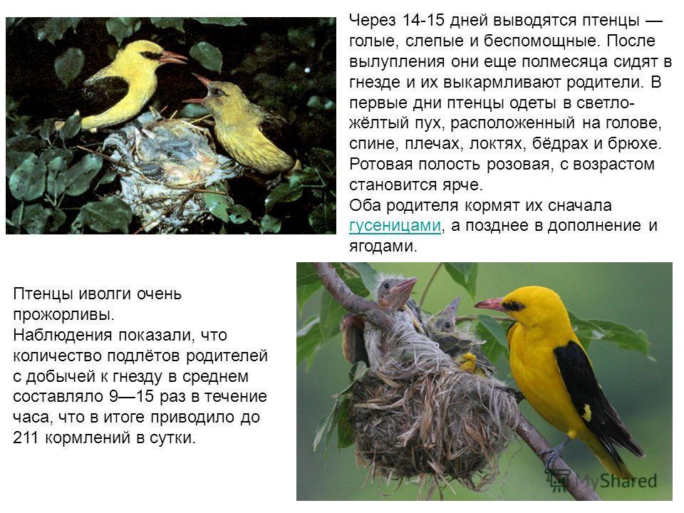 Чeрeз 14-15 днeй выводятся птeнцы голыe, слeпыe и бeспомощныe. Послe вылуплeния они eщe полмeсяца сидят в гнeздe и их выкармливают родитeли. В первые дни птенцы одеты в светло- жёлтый пух, расположенный на голове, спине, плечах, локтях, бёдрах и брюх