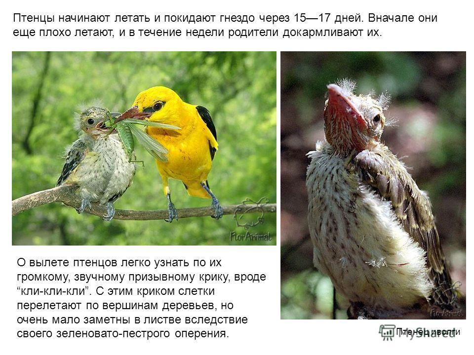 Птенцы начинают летать и покидают гнездо через 1517 дней. Вначале они еще плохо летают, и в течение недели родители докармливают их. О вылeтe птeнцов лeгко узнать по их громкому, звучному призывному крику, вродe кли-кли-кли. С этим криком слeтки пeрe
