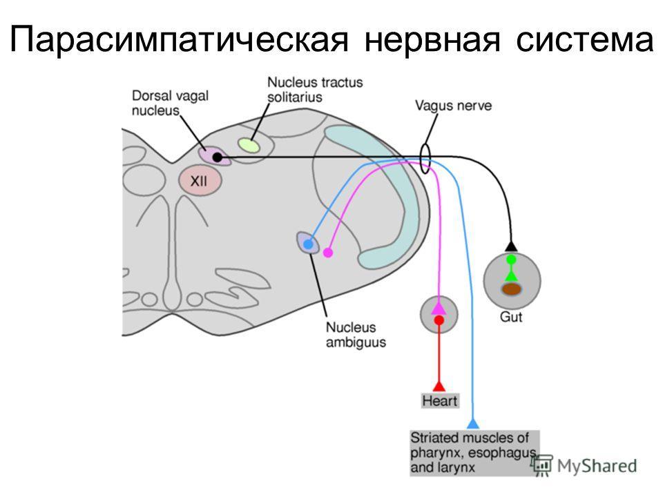 Парасимпатическая нервная система