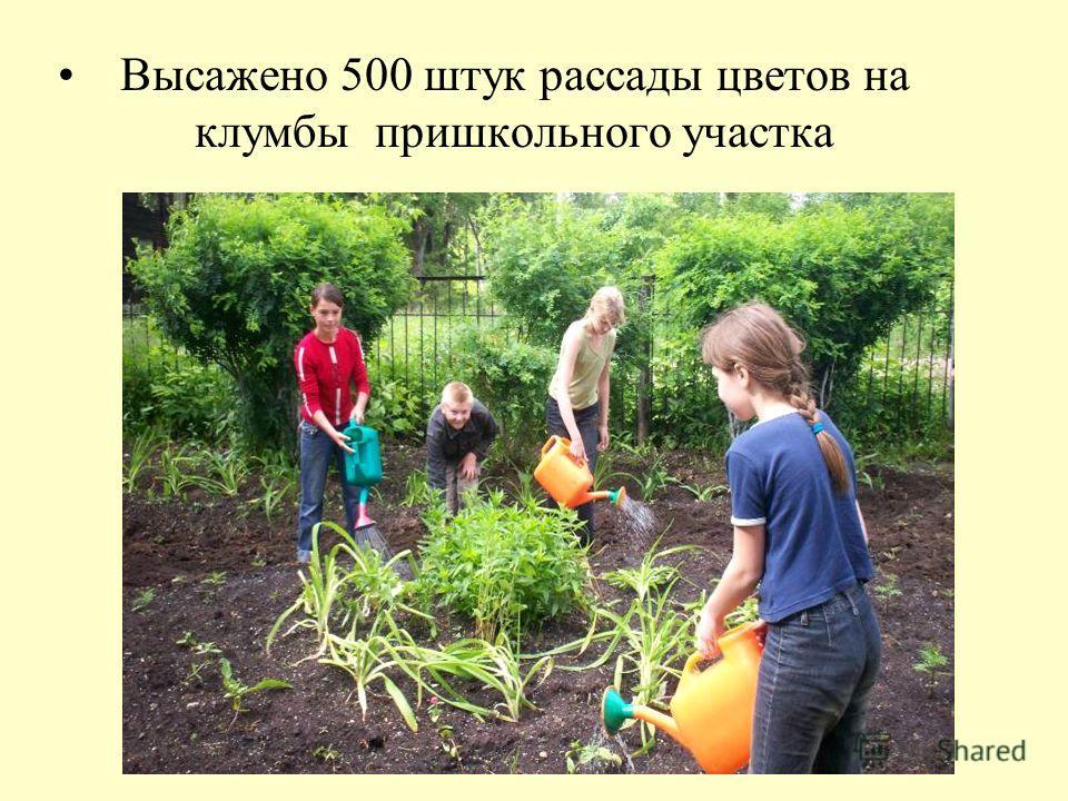 Высажено 500 штук рассады цветов на клумбы пришкольного участка