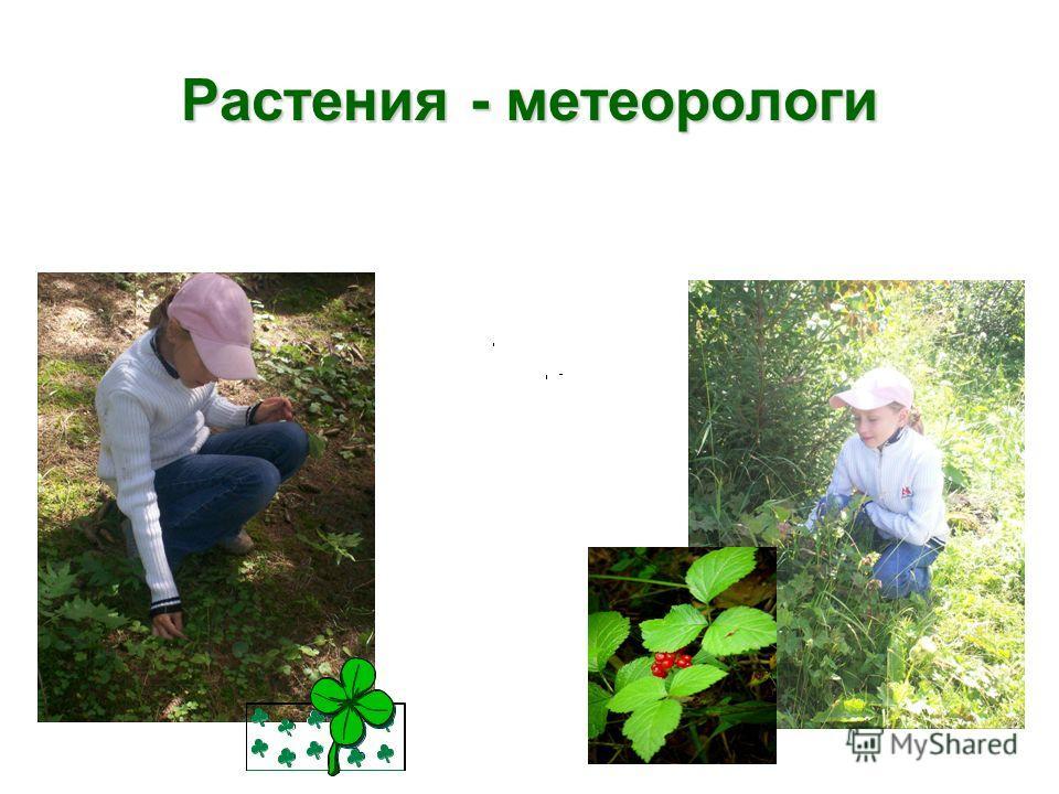 Растения - метеорологи