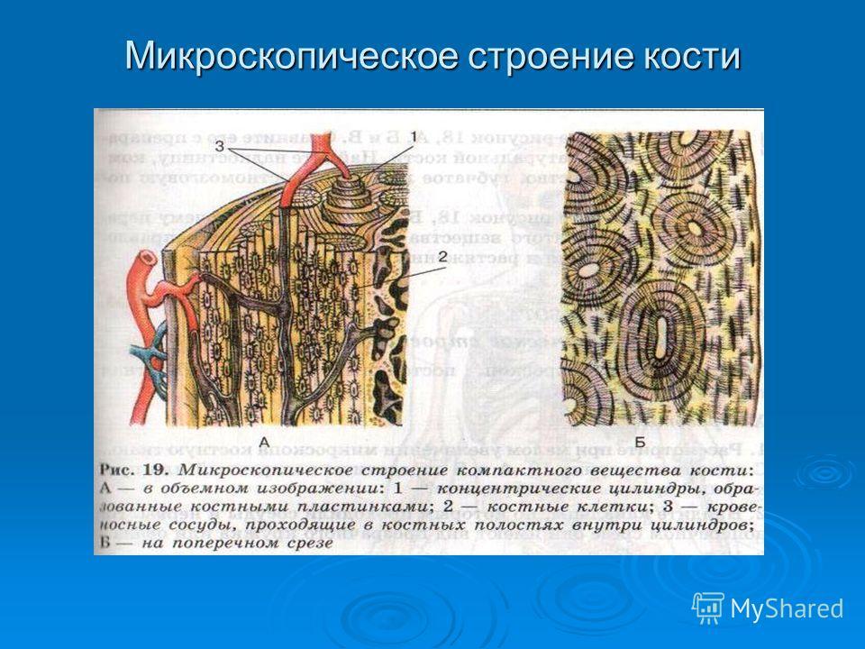 Микроскопическое строение кости