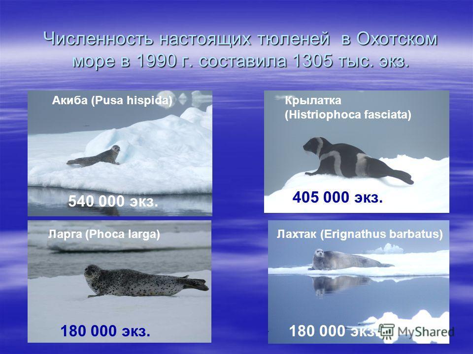 Численность настоящих тюленей в Охотском море в 1990 г. составила 1305 тыс. экз. Акиба (Pusa hispida) 540 000 экз. Ларга (Phoca larga) 180 000 экз. Крылатка (Histriophoca fasciata) 405 000 экз. Лахтак (Erignathus barbatus) 180 000 экз.